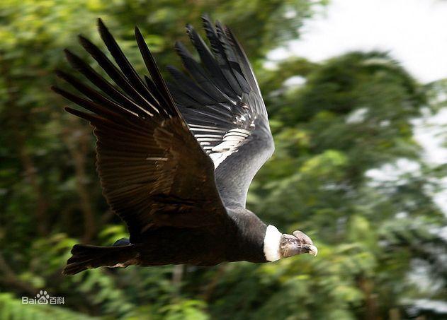 安第斯神鹫