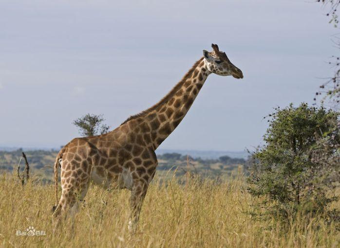 长颈鹿乌干达亚种