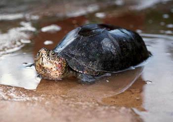 动胸龟分两个亚科,动胸龟亚科(kinosterninae)和麝香龟亚科(stauroty天津市v两个宠物蜥蜴店在哪图片