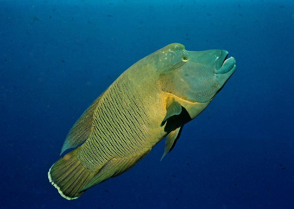 """它們會在海洋中建造""""清潔站"""",通過撿食其他魚類身上的寄生蟲和老化的圖片"""