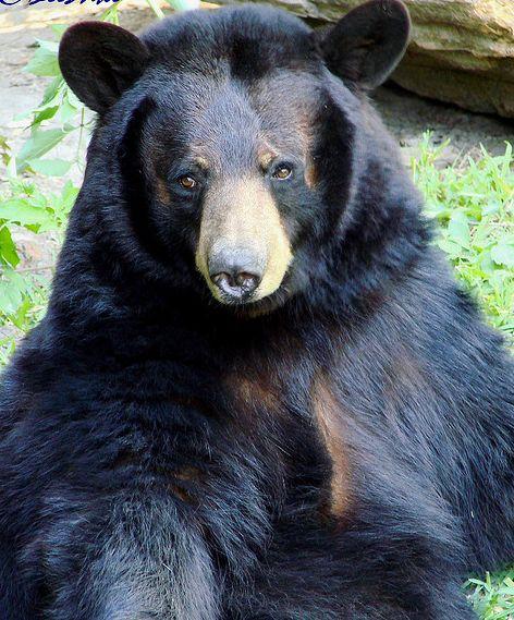 路易斯安那黑熊图片