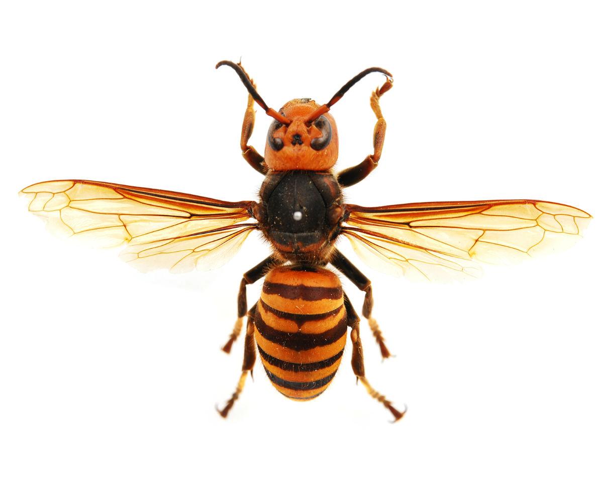 梦见金环胡蜂