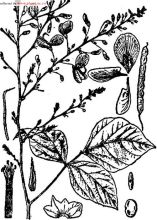 豆科植物一览2