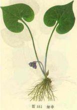 细辛-植物形状