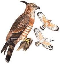 褐冠鹃隼组图