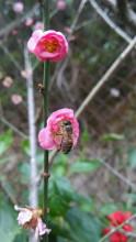 梅林水库绿道的梅花