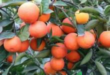 江西任氏果业 玫瑰血橙