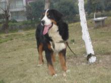 伯尔尼兹山地犬