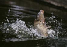 台荫黄河鲤鱼资料链接图