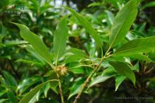 八角族植物