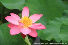 紫竹院-荷花