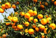 南丰贡桔种植园