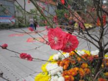 蔷薇目之桃花
