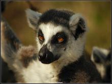 白足鼬狐猴