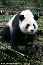 哺乳纲动物大熊猫