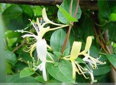 金银花种子