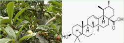 枇杷叶-原植物