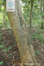 海南石梓根茎