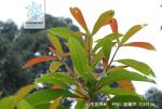 云南蓝果树枝叶