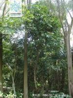 滨木患根茎