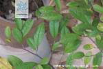 杨梅叶蚊母树枝叶