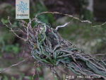 异型兰枝叶