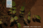毛茛铁线莲枝叶