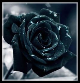 黑玫瑰花-黑色玫瑰图片