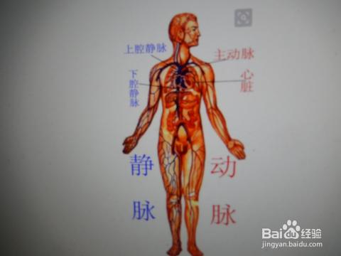 人体血分布�_人体血管是怎么形成的?