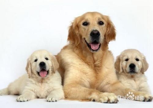 生活/家居 > 宠物  1 宠物狗是人类当做宠物饲养的犬类动物,目的是和