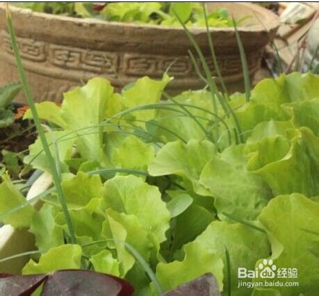 陽台上怎麼種生菜