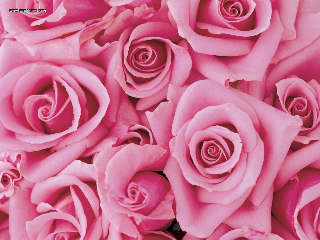 动态壁纸大全玫瑰花 手机动态壁纸 电脑桌面壁纸玫瑰花图片 风景桌图片