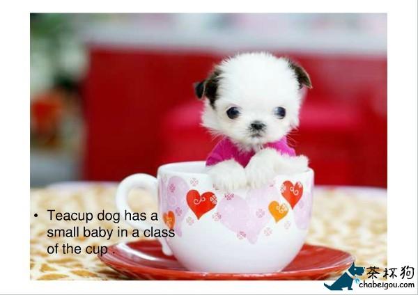茶杯犬袖珍包邮茶杯犬寿命图片   茶杯犬又名茶杯贵宾犬图高清图片
