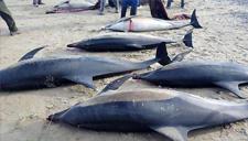 61条海豚搁浅49条死亡
