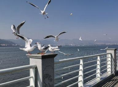 西伯利亚海鸥飞到滇池突然没人喂了?