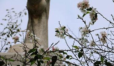 奇了!武大樱花10月绽放