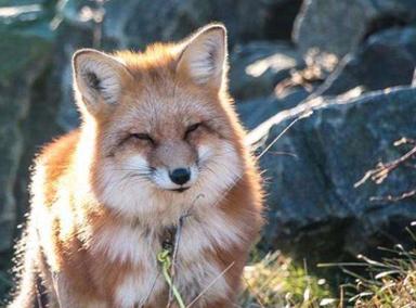 冬天食物减少成群小狐狸上公路讨食