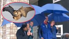 猫头鹰频频袭击人类 居民撑伞防身