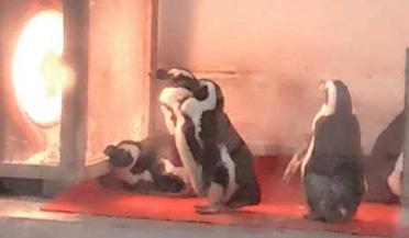 动物园的企鹅排队烤火 不愿离开