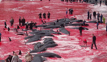 触目惊心!渔民捕杀百余头鲸鱼