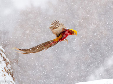 太美了!实拍红腹锦鸡雪地里起舞