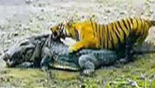 动物世界奇观捕捉:老虎战鳄鱼