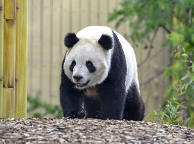 旅加龙凤胎大熊猫抵达成都