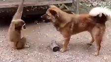 猴子调戏两只萌犬 手舞足蹈上下翻飞