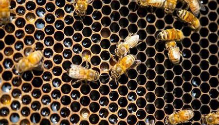 现场:国外一房屋天花板内藏有12万只蜜蜂