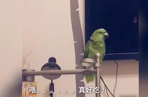 鹦鹉真是鸟界泥石流,话也太多了