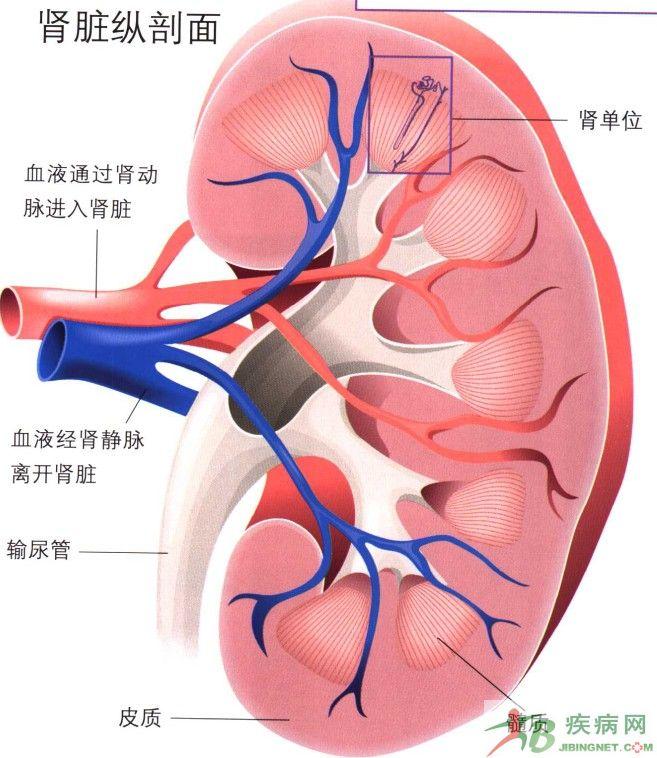人体的肾门在哪个部位 求图_百-肾脏在人体的位置图图片大全 肾脏在图片