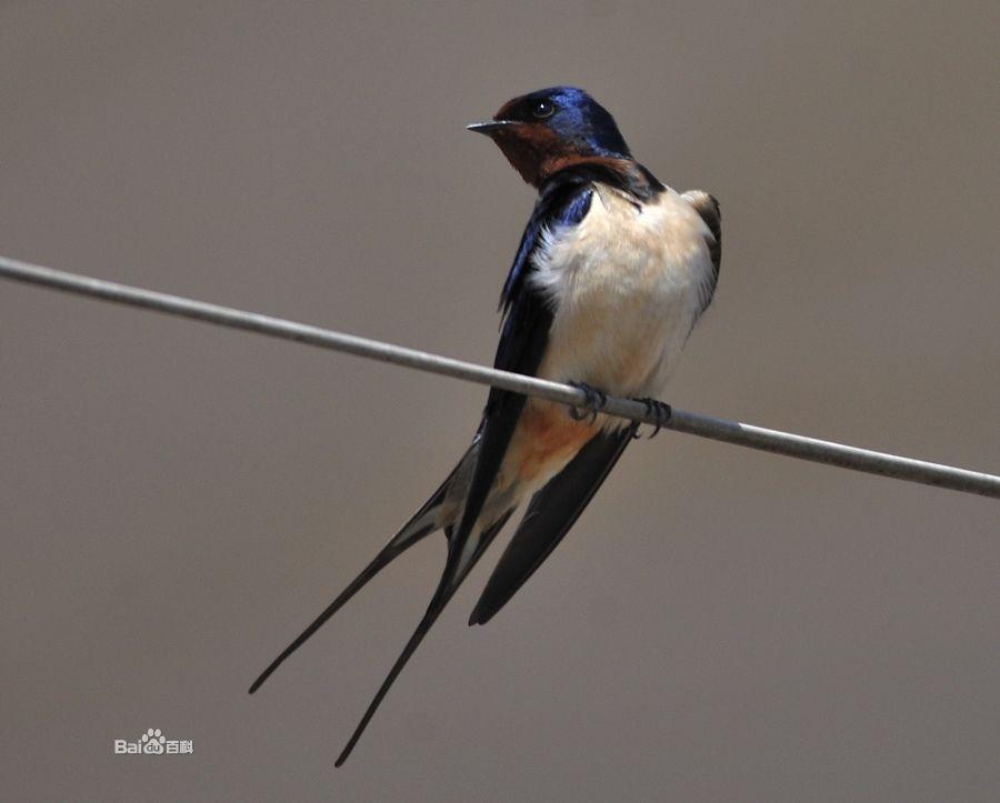 抓到一只燕子,为毛燕子比麻雀还瘦捏?