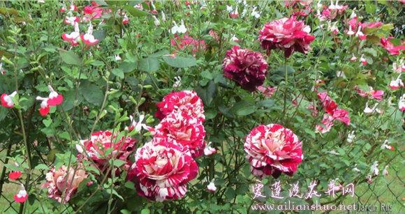 红双喜月季花