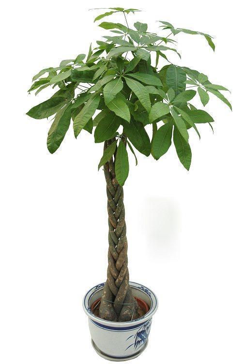 发财树的培育方法